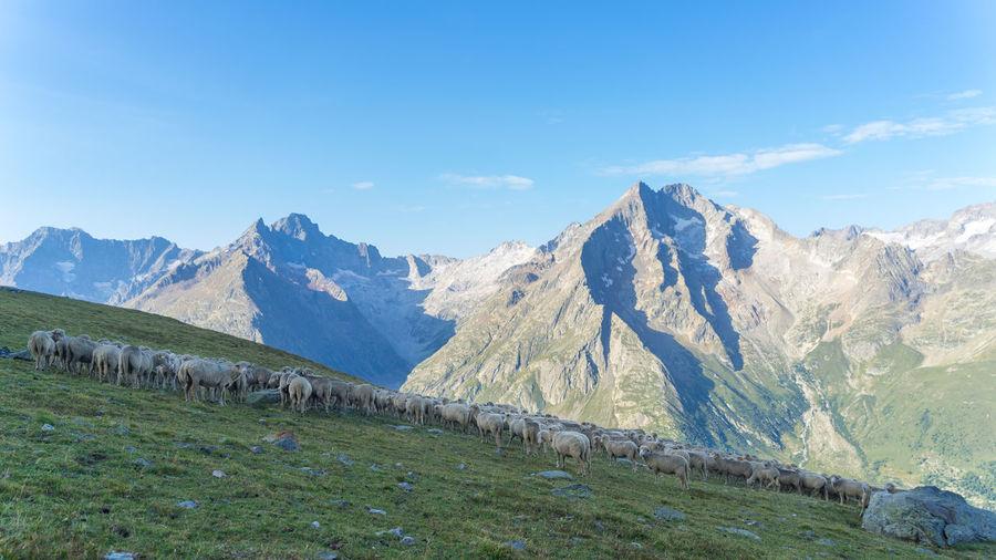 Sheep France