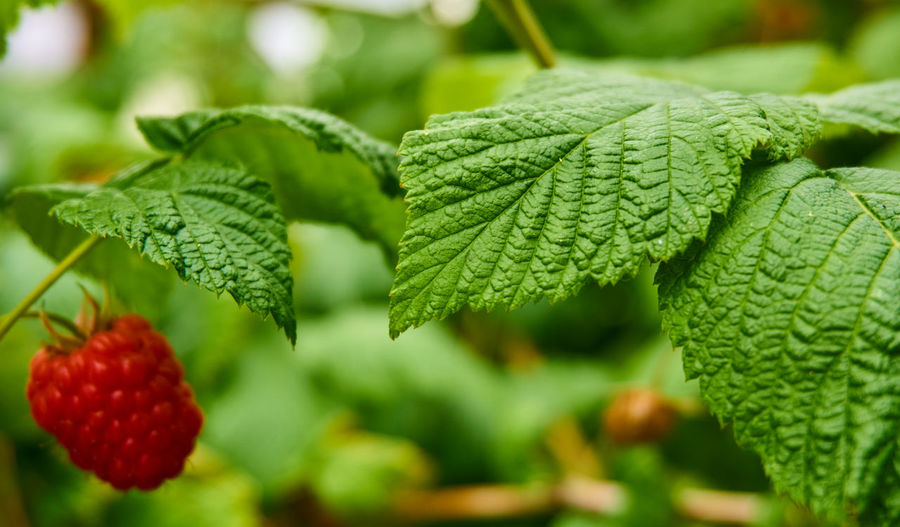 Close-up from a single red raspberry on a shrub in the middle of green leaves Green Plant Red Background Berry Bush Close-up Crop  Food Fresh Fruit Harvest Healthy Juicy Leaves Macro Organic Raspberry Ripe Season  Seasons Shrub Single Object Sweet Vitamin