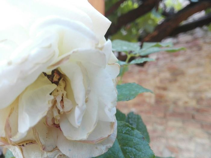 Rosa Rosae Hello World Taking Photos Rose - Flower Roses🌹 Flower Collection Roses_collection Roses World 🌹❤️🌹 Enjoying Life Garden Tuscany Relaxing Artandcoffee Terrace Macro Relaxing Moments Breaktime Afternoon Coffee First Eyeem Photo