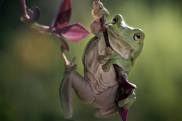 Close-up of a dumpy frog