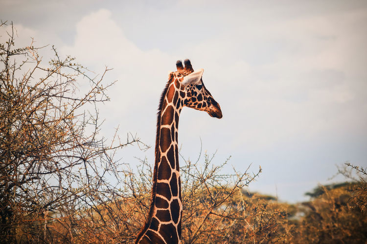 A giraffe's head standing out from the bush, samburu national reserve, kenya