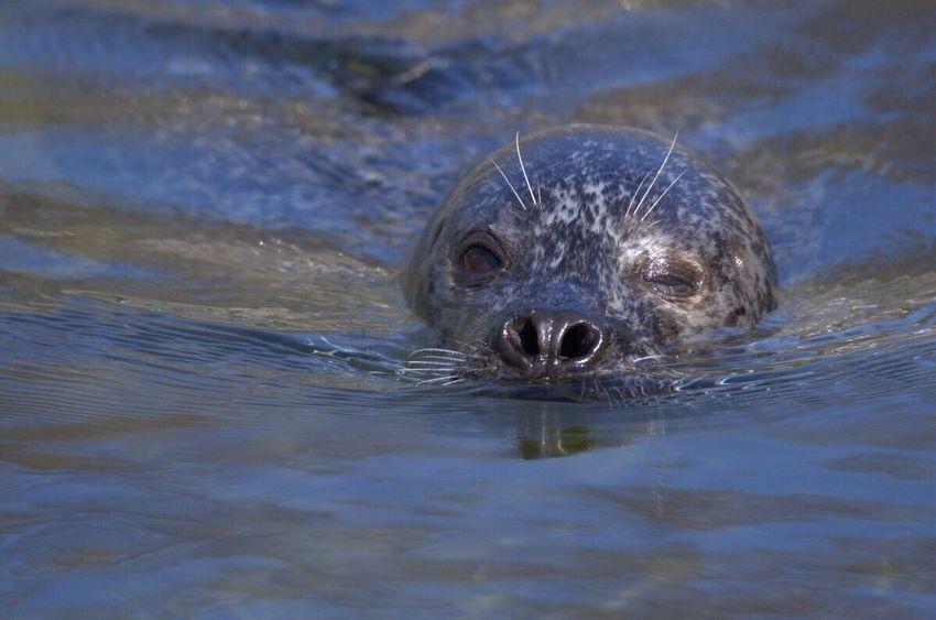 Zwinker Seelöwe Wasser