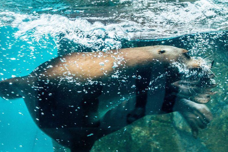 Close-up of sea lion swimming in aquarium seen through glass