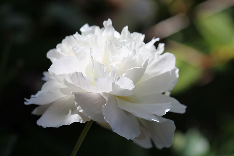 White Peony in