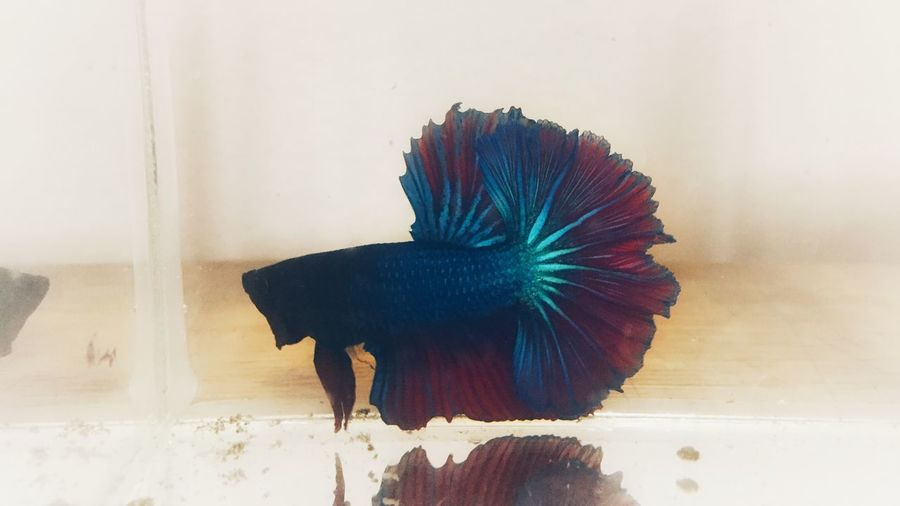 Fighting fish Alone Beutiful  Fish Fight Fist Indoors  Feather  No People Animal Themes Domestic Animals One Animal Peacock