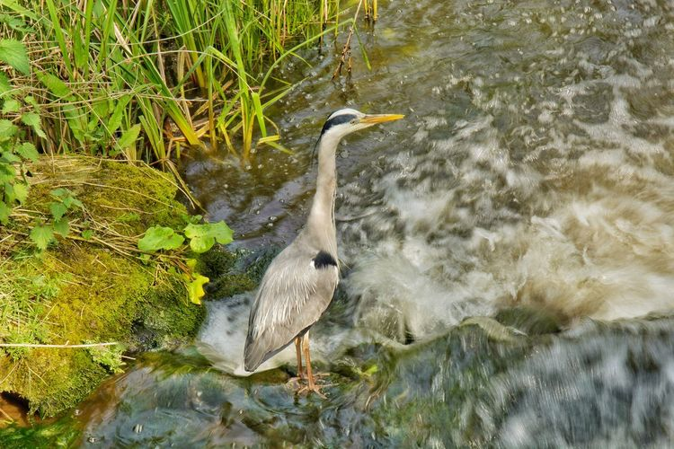 High angle view of gray heron in lake
