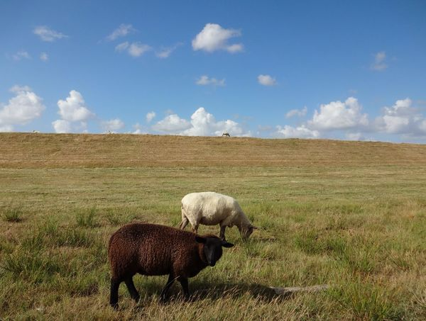 LINE Sunny Day Nordsee North Sea Föhr Sheep Sheeps Schaf  Schafe Braun Three Animals Deich  Reihe Dike Meadow Weide Summertime Cloud - Sky Sky Mammal Nature Landscape Animal Themes Outdoors No People Rural Scene