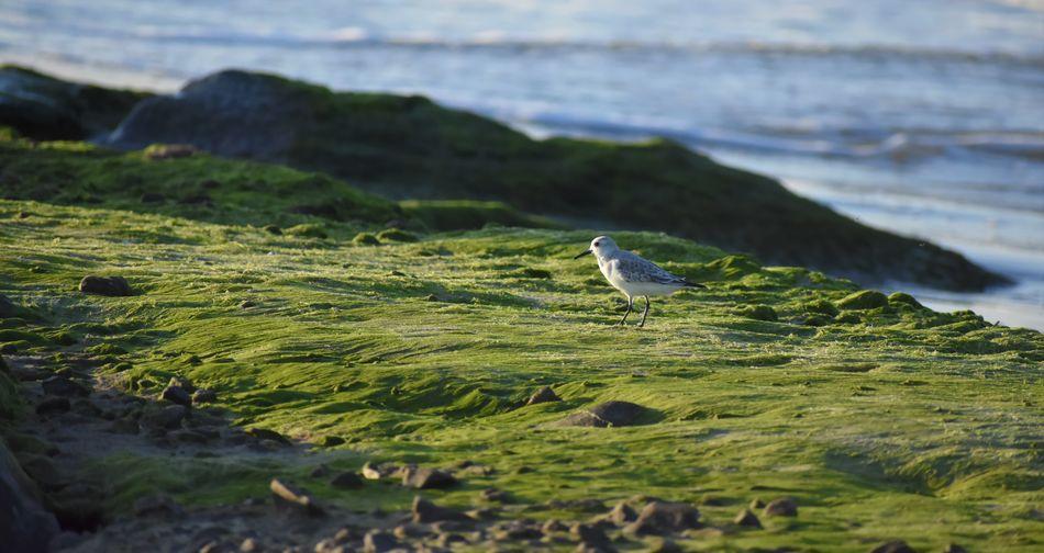 Piper sandpiper sanderling walking on moss