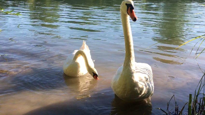 Schwanenfamilie Swantastic Swans ❤ Swans Swan Schwäne Schwan