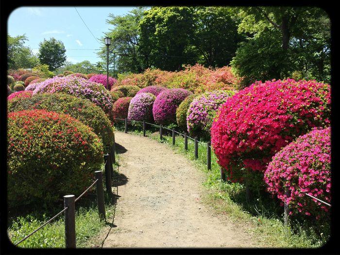 Blossom in Okaya tsurumai