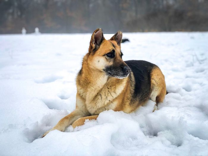 German shepherd in the snow Sitting Alone Dogs Of EyeEm Focus On Foreground Portrait Forest Resting Relax Lazy German Shepherd Cute Animal Themes Dog Canine Winter Snow Animal Cold Temperature One Animal Mammal Pets Domestic Animals Domestic Vertebrate No People Nature Looking Away Day Looking Outdoors