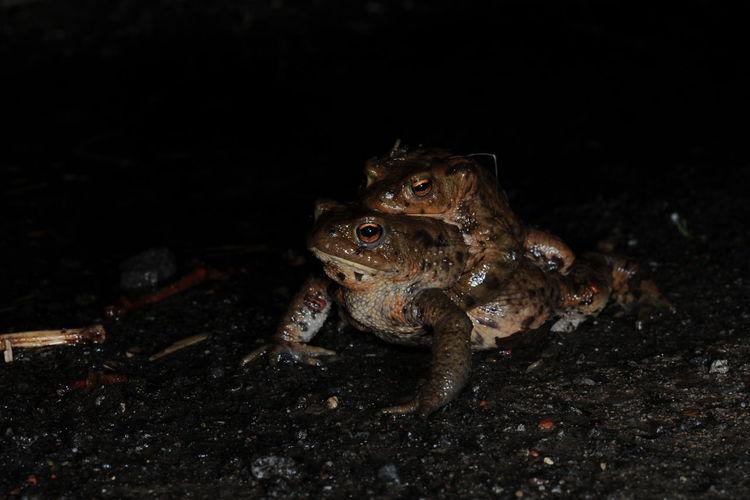 Close-Up Of Frog Mating On Rock At Night
