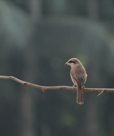 Brown shrike is perching on a branch
