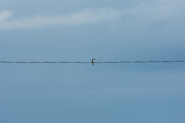 Lone Kingfisher on a wire. Alone Animal Themes Animal Wildlife Animals In The Wild Beauty In Nature Bird Day Kingfisher Looking Low Angle View Nature No People One Animal Outdoors Perching Sky Watching