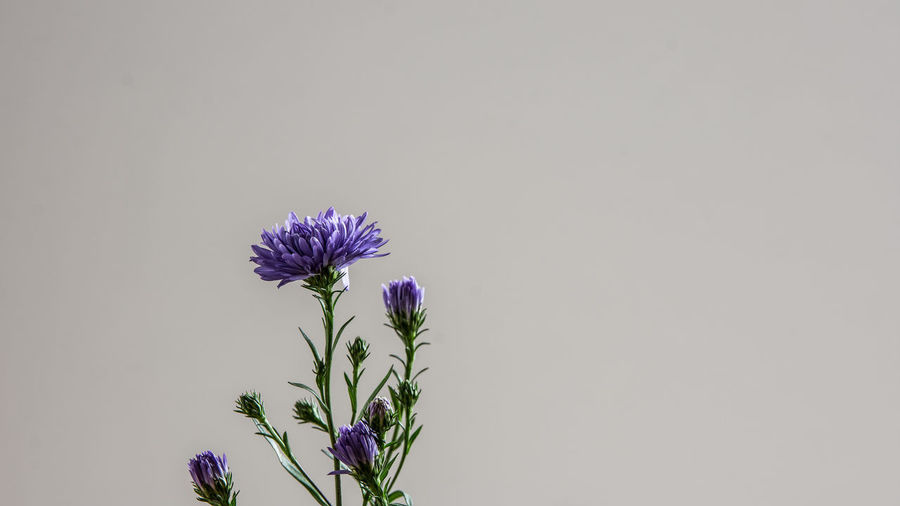 Beauty In Nature Close-up Copy Space Cut Out Flower Flower Head Flowering Plant Fragility Freshness Growth Indoors  Inflorescence Nature No People Petal Plant Purple Sepal Studio Shot Vulnerability  White Background End Plastic Pollution