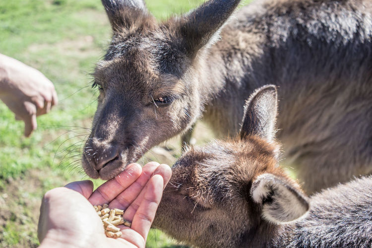 Feeding  Feeding Animals Wallabys Animals In The Wild Close-up Day Domestic Animals Feed Animals Focus On Foreground Hand Herbivorous Human Hand Mammal One Animal One Person Outdoors Petting Zoo Real People Unrecognizable Person Wallabees Wallabies Wallaby