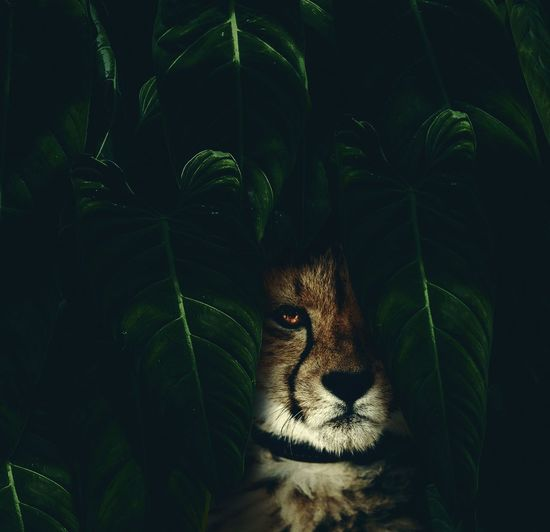 Portrait Of Cheetah Amidst Leaves