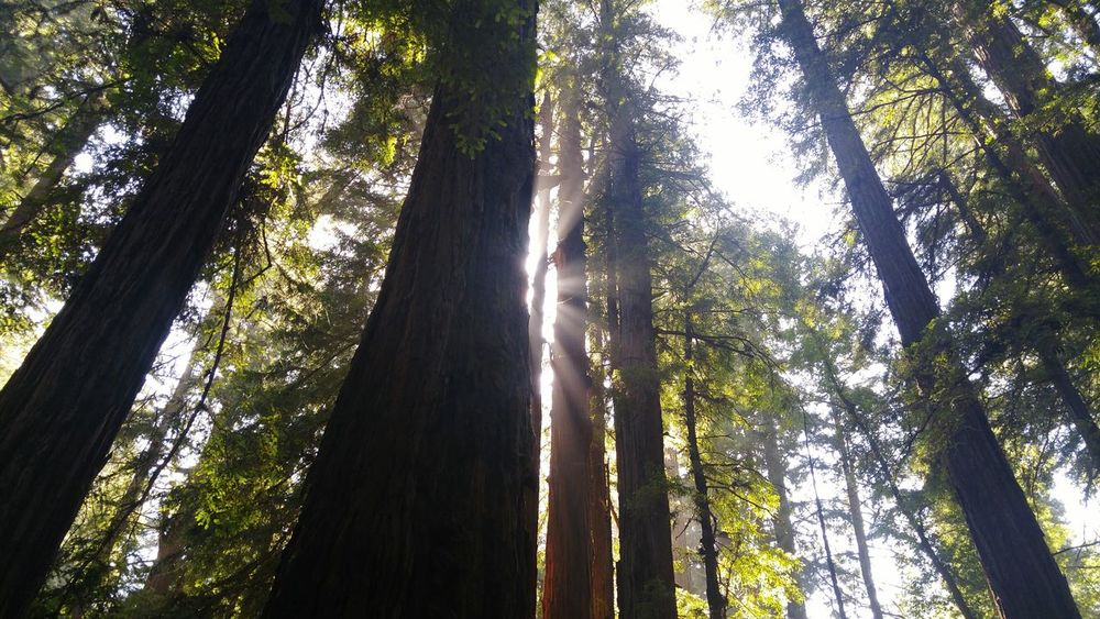 Tree Low Angle View Nature Forest Growth Tree Trunk Tranquility No People Outdoors Beauty In Nature Scenics Sky Day Sun Shining Through The Trees Filtered Light Redwoods Forest Forest Photography EyeEm Nature Lover Evergreen Tree Canopy Tree Canopy  Plant Vacation
