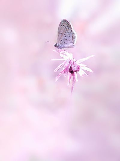 pink butterfly Insect Animal Wildlife Purple One Animal No People Animals In The Wild Butterfly - Insect Pink Color Animal Themes Close-up Nature Flower Day Outdoors Art Product