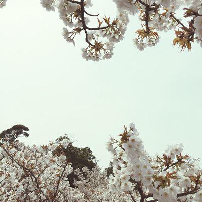 Japan 桜 Cherry Blossoms