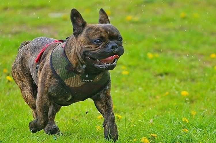 No one do it like me contact in bio! Frenchzone Gonzothunder Frenchzoneonly Frenchielove Crazyfrenchielovers Frenchbulldog Frenchbulldogs Frenchie Frenchies Doggie Dogs Buldogfrancuski Bulwa