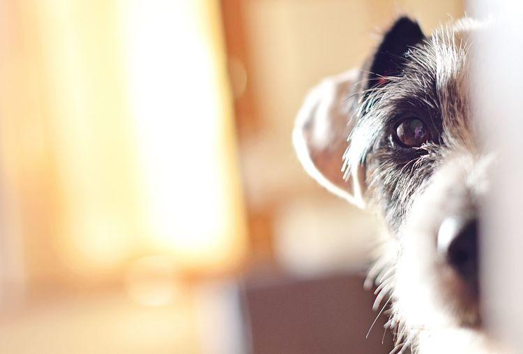 Peek-a-boo Eyes Cute Dog  Cute Pets Pet Pets Corner Pet Photography  Dog Dogs Creative Light And Shadow Dog Love Jackrussell Jack Russell Jack Russel Terrier Peek Peekaboo Showcase: March