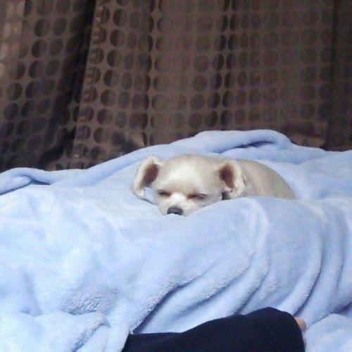 相棒 愛犬 うちのドビー おやすみ 寝てる埋まってる布団だいすき