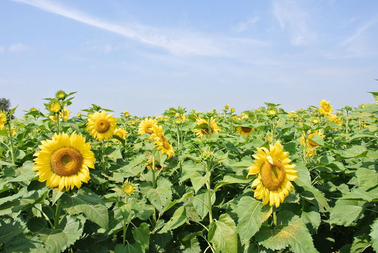 Flowering Plant Flower Yellow Plant Fragility Growth Freshness Beauty In Nature Flower Head Vulnerability  Inflorescence Sky Petal Nature Sunflower Close-up Field No People Land Day Outdoors Pollen