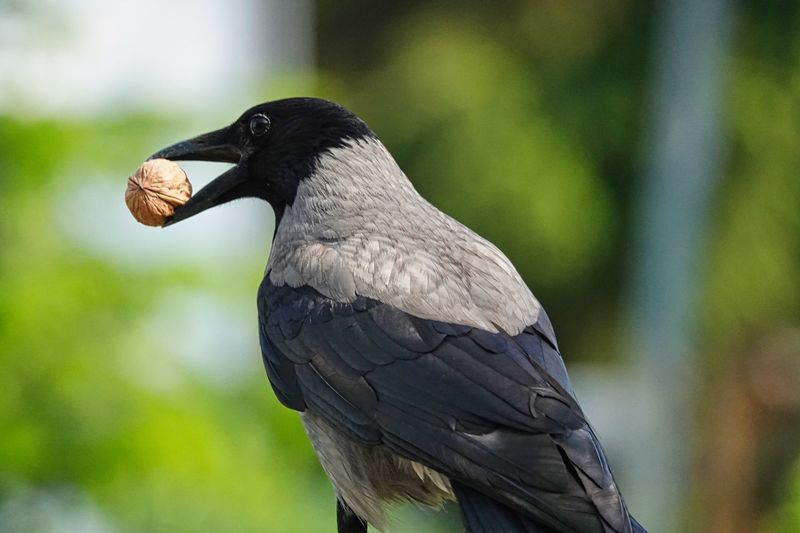 Walnut Crow Animal Themes Animal Wildlife Animals In The Wild Animal Bird Vertebrate One Animal Focus On Foreground Close-up No People Day Nature Black Color Perching Plant Outdoors Beak Side View Beauty In Nature The Minimalist - 2019 EyeEm Awards