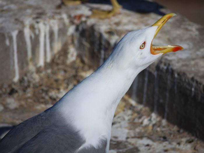 Sing Alarm Alert Animal Themes Animal Wildlife Animals In The Wild Beak Bird Bird Call Close-up Day Distress Gull Nature No People One Animal Outdoors Shout Singing Bird Warning