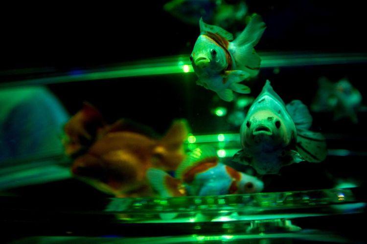 Aquarium Goldenfish Goldfish Japan Japan Photography 金魚 きんぎょ きんぎょ アートアクアリウム