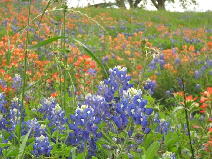 Flowers Wild Flowers Eye4photography  Texas Bluebonnet