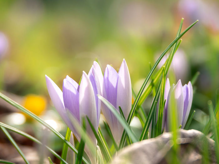 Plant Flowering Plant Flower Beauty In Nature Vulnerability  Freshness Growth Fragility Petal Close-up Selective Focus Nature Land Purple Crocus Field Inflorescence Flower Head Iris No People Springtime Blade Of Grass