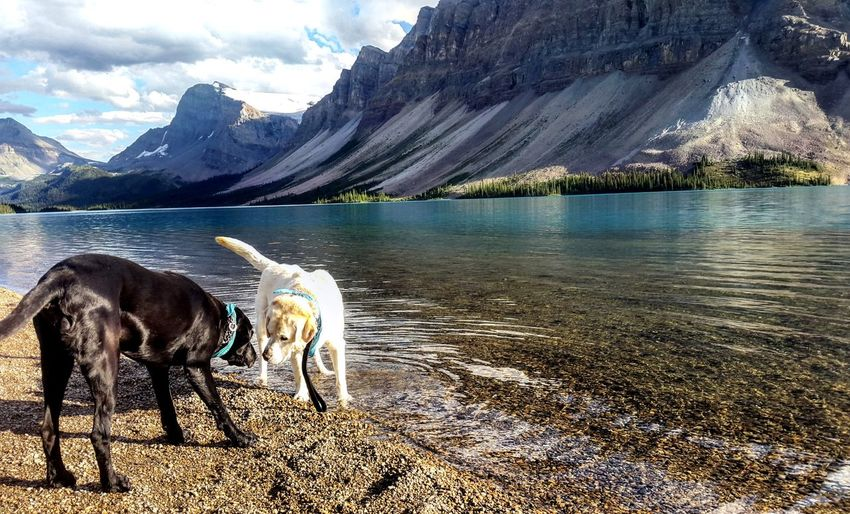 Labrador dogs at lakeshore against mountains