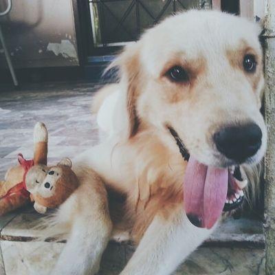 เฮ้อ เหนื่อยๆๆๆๆๆ Dog Goldenretriever Pet13