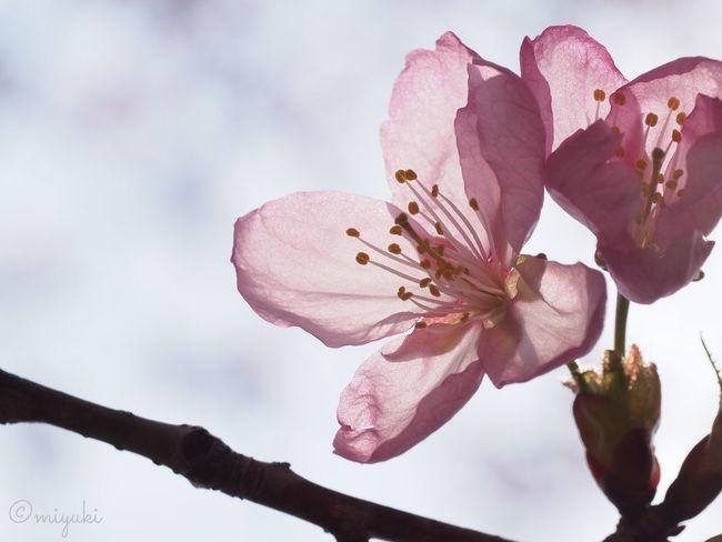 エゾヤマザクラ Cherry Blossoms EyeEm Nature Lover Flowerporn Flowers Spring Sapporo