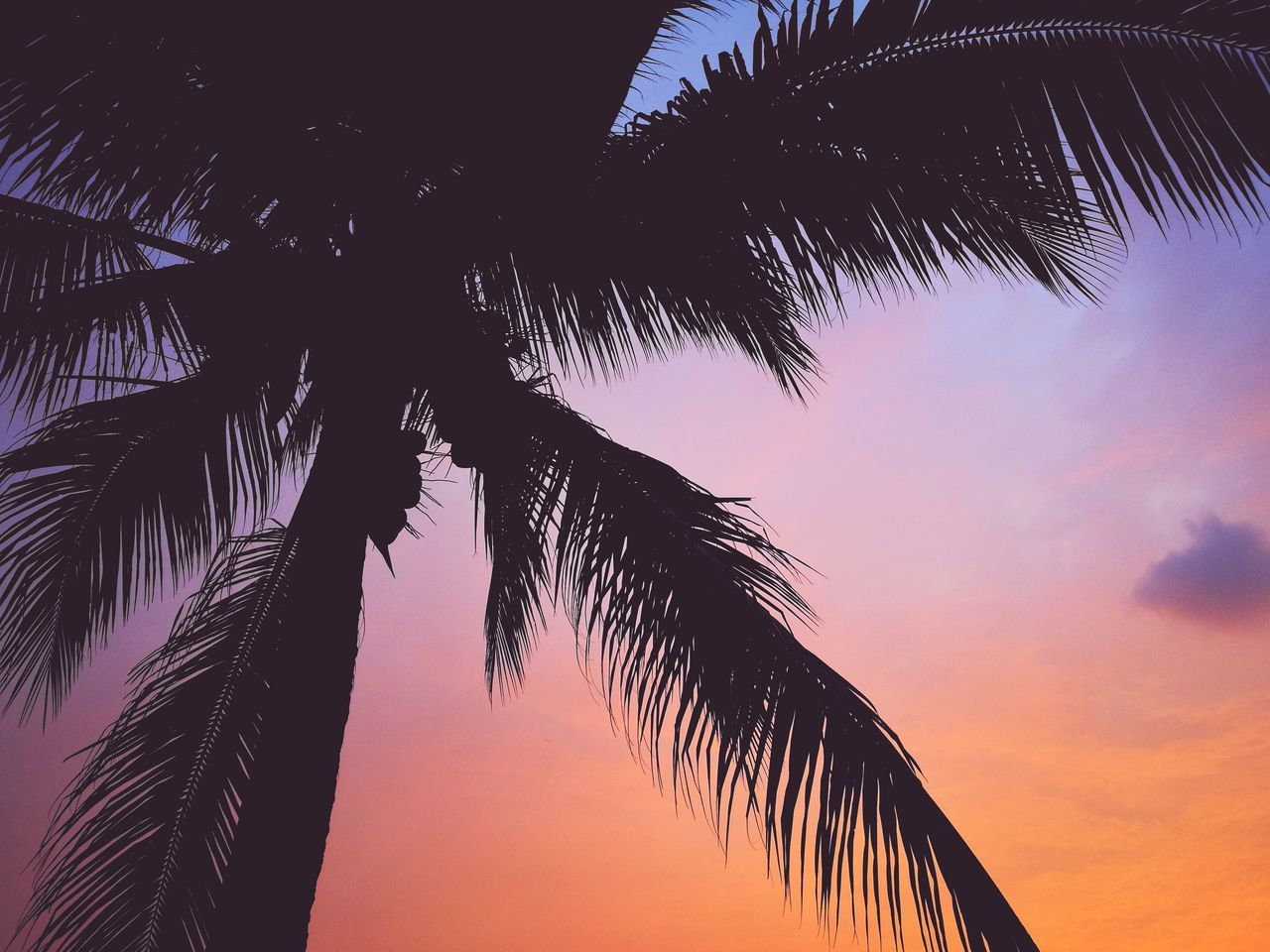 Give up,to grow up🌸 Sunset Lovers Sunset Photography Sky Lover Colourful Sky Shadow Of Coconut Leaves Coconut Tree Beauty On Nature Sunset Silhouette Tree No People Low Angle View Sky Outdoors Day