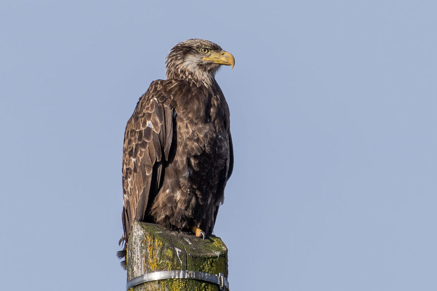America Bald Eagle Bird Bird Of Prey Blue Close-up Day Focus On Foreground Juvenile Bald Eagle Low Angle View Nature Nature No People Outdoors Perching Perspective Raptor Sky