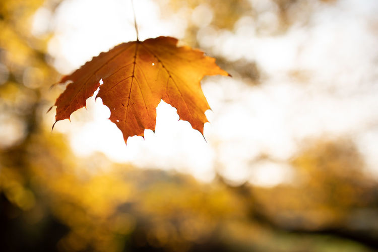 Autumn Leaf Plant Part Change Nature Orange Color Focus On Foreground Maple Leaf Close-up Plant Tree Day No People Beauty In Nature Outdoors Maple Tree Selective Focus Leaf Vein Sunlight Tranquility Leaves Autumn Collection Natural Condition Fall