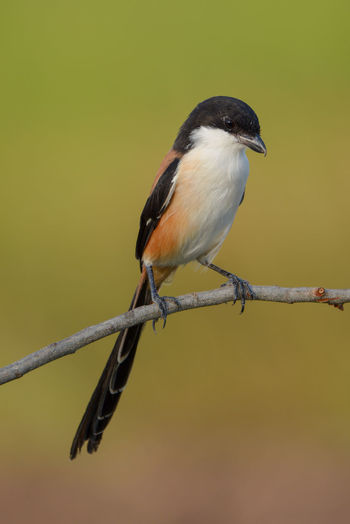 Long-tailed