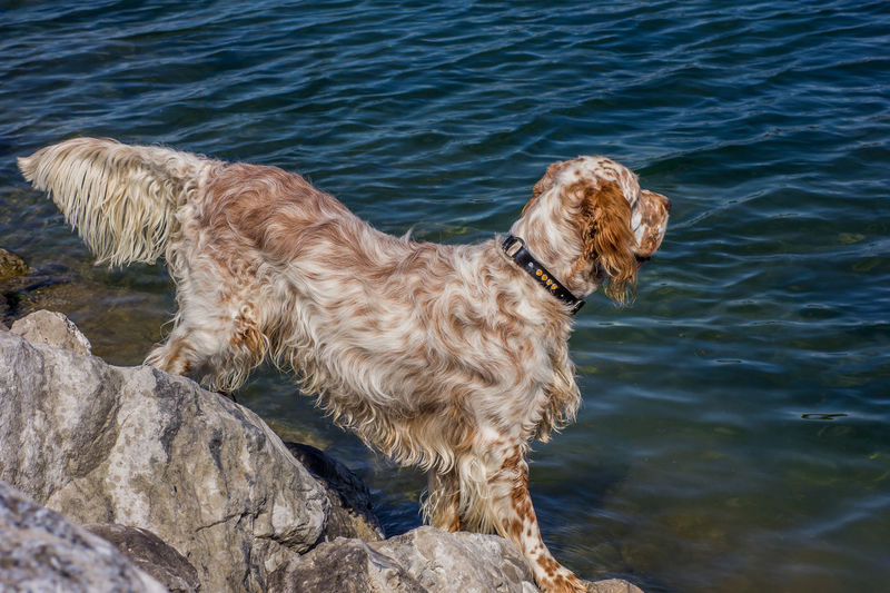 Pointing english setter Dog Profile Dog Dog Portrait English Setter No People Outdoors Pets Pointing Pointing The Way Water