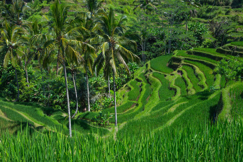 Tegalalang rice terrace Agriculture Beauty In Nature Day Field Grass Green Color Growth Landscape Nature No People Outdoors Rice Paddy Rice Terraces Scenics Tegalalang Tranquil Scene Tranquility Tree