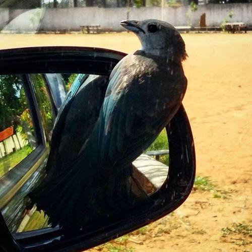 Sanhaço-cinzento fazendo pose. Kkk Birds Nature Brwildanimals Sanhaço Animal Reflection Cars Francasp Francolandia Francacapitaldocalcado Naturelovers Nature Urbanbirds
