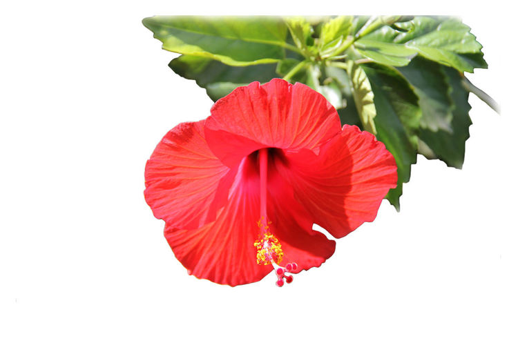 Close-up of red hibiscus against white background