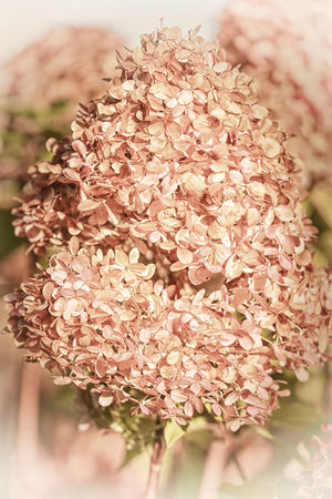 Evanescence Autumn Death Fade Fugacity Beauty In Nature Blooming Blossom Brittleness Close-up Day Decease Evanescence Fading Fall Flower Flower Head Fragility Freshness Growth Nature No People Outdoors Petal Timeliness Transitory