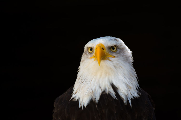 Bald Eagle Eagle EyeEm Nature Lover Adler Beauty In Nature Portrait Of An Eagle Weißkopfseeadler
