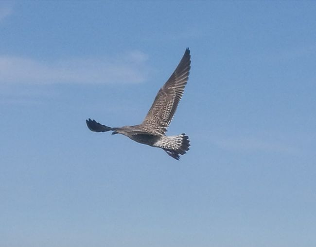 Bird Spread Wings Flying Clear Sky Blue Full Length Sky