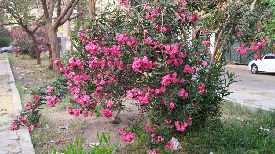 Flower Nature Pink Color Beauty In Nature Maadi Random