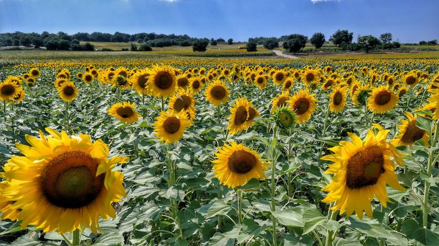 Sunflowers🌻 Sunflower Sunflowers Field 43GoldenMoments 43 Golden Moments Bursadazaman Turkeyphotos Turkishfollowers Bursa Yeşil Bursa Bursalovers Turkey Hanging Out EyeEm Best Shots Eye For Photography Eye4photography  Check This Out Getting Inspired In Heaven Taking Photos Enjoying Life