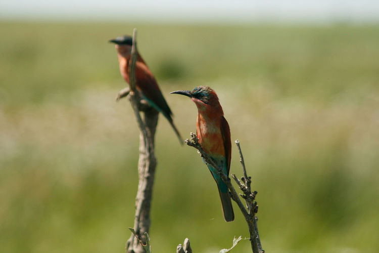Bee-eaters perching on twigs
